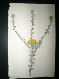 Curtis 1792 Hand Col Botanical Print. Fan Leaved Tansy 212